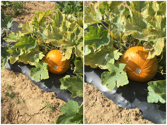 2 photographs of a pumpkin patch showing the difference with the use of the telephoto lens