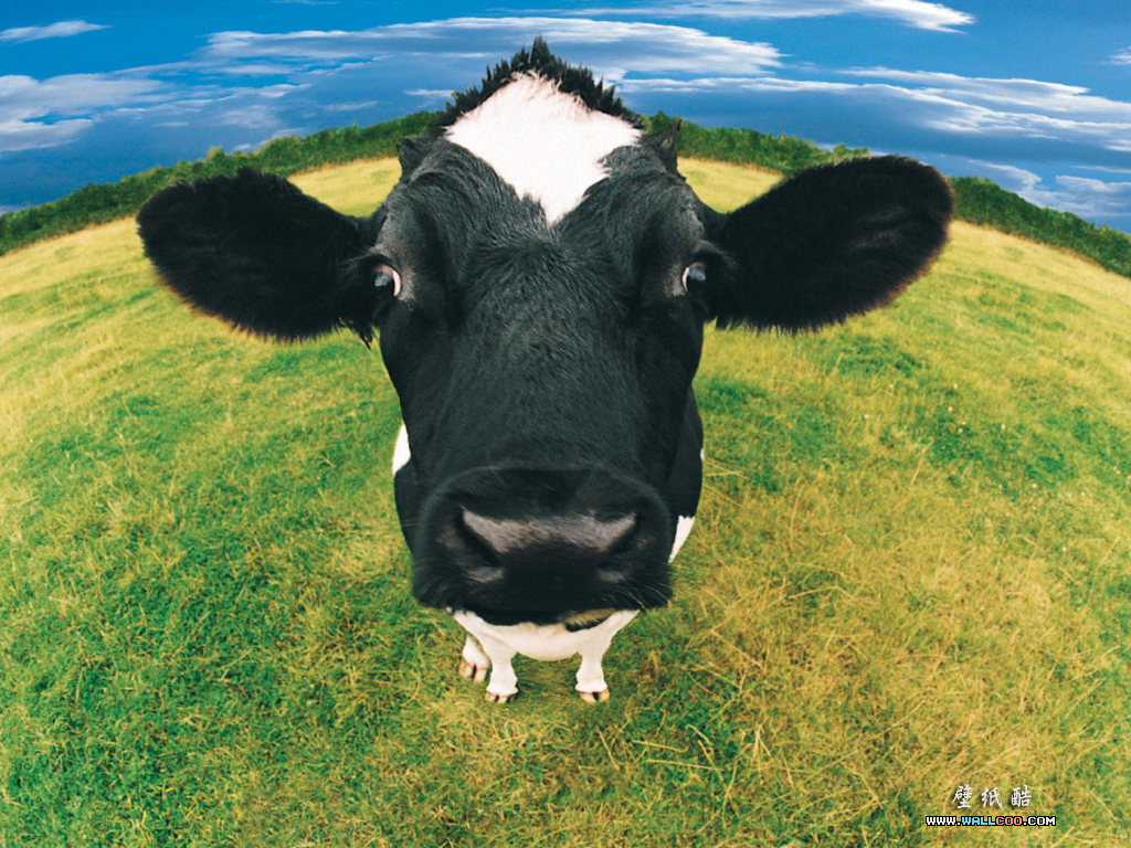 Cool Pictures: Funny cow pictures Collection