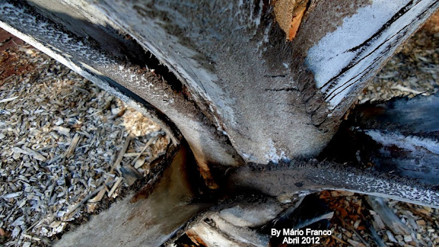 Caule PALMEIRA-SATRANA, LALA-PALM - ( Hyphaene coriacea )