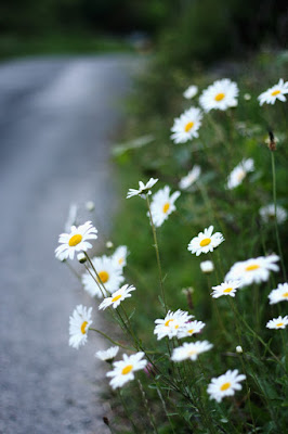 daisies, wild flowers, countryside, Ireland, Galway