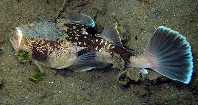 Ikan Stargazer