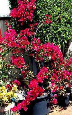 Picture of Propagated Bougainvillea growing in a pot