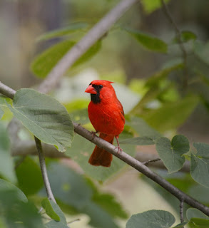 Photo of a cardinal in a tree