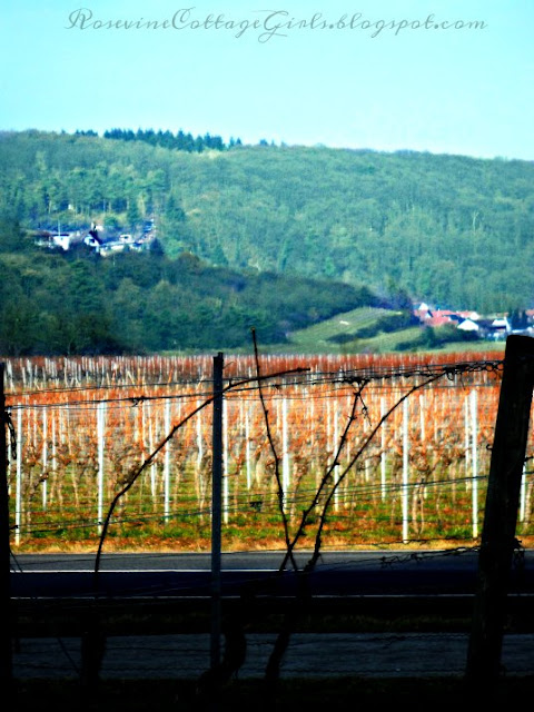 View through the vineyards Weisenheim am Berg Germany