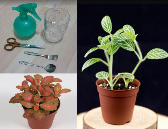 2 X Fittonia Rooted Cuttings House Plant Terrarium Vivarium Tropical