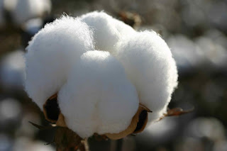 A Peruvian Pima cotton bloom.
