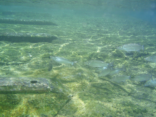 Kastenmaul Meeräsche © Canarian Sea 02