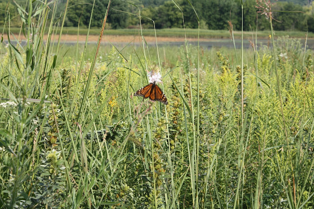 Monarch butterfly at Nahant Marsh