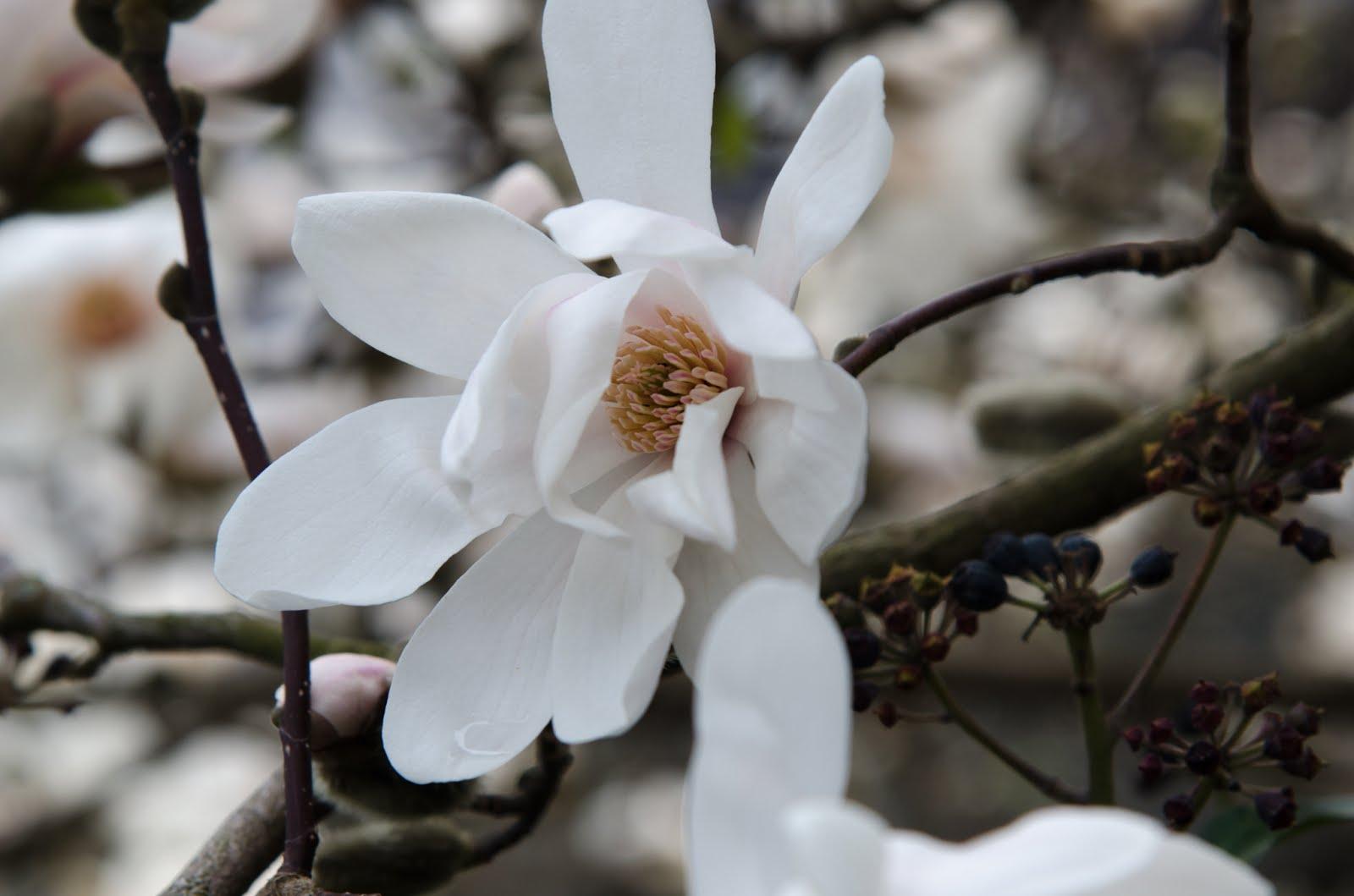 baum des tages fr hbl hende magnolie. Black Bedroom Furniture Sets. Home Design Ideas