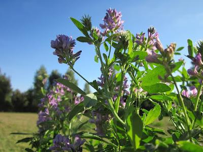 Alfalfa, Herbal Plant, Herbal, alfalfa benefits, alfalfa health benefits, alfalfa uses, alfalfa nutrition,