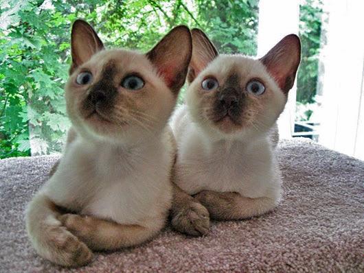 Encuentra en la web el Gato que cambio de color de ojos