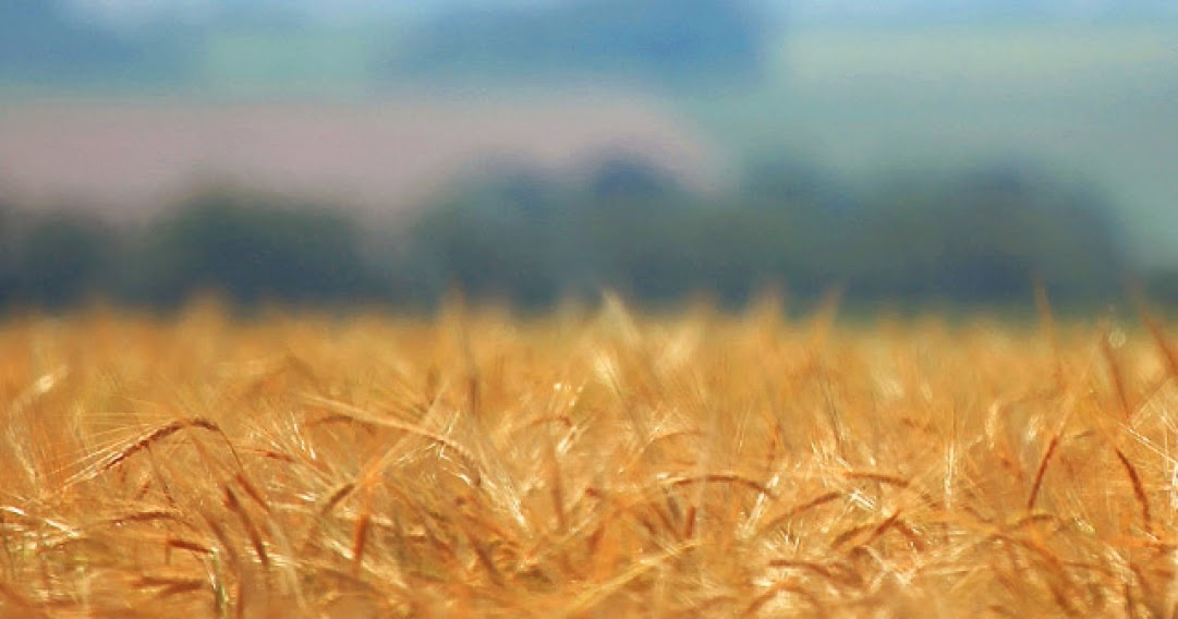Android Best Wallpapers Golden Wheat Field Focus Blur