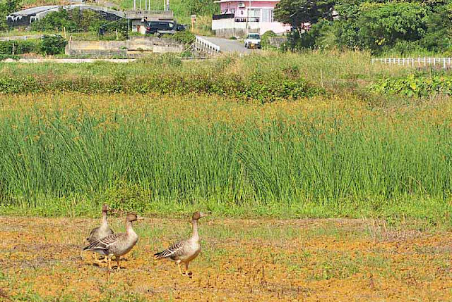 3 Bean Geese, fields, road, buildings, fences