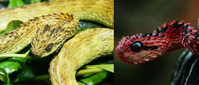 Atheris Viper (Ejderha Yılanı) Hakkında Bilgi