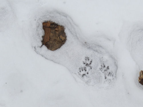 squirrel tracks in a boot print