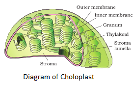 Ncert solutions for class 11th ch 8 cell the unit of life biology diagram of chloroplast ccuart Choice Image