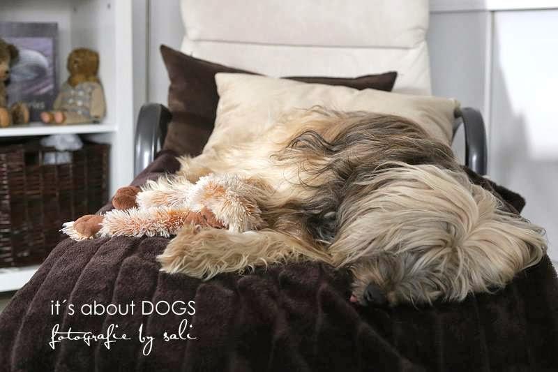 Hundeblog - Tibet Terrier Chiru