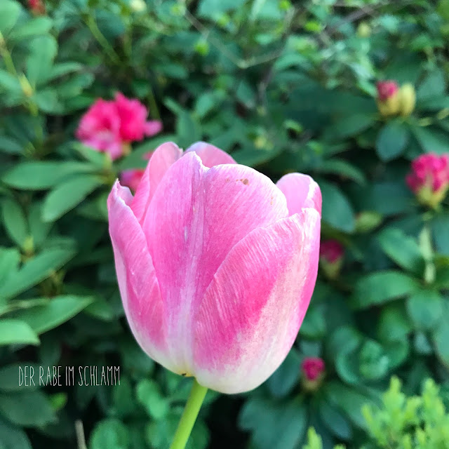 Garten, Garden, Tulpe, Tulip