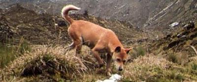 (ξανα)Βρέθηκε ο αρχαιότερος και πιο σπάνιος σκύλος στον κόσμο