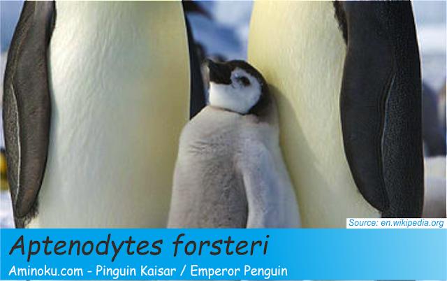 Fakta unik penguin kaisar