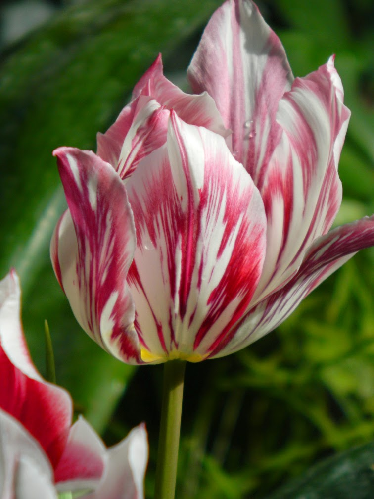 Purple streaked tulip Allan Gardens Conservatory 2015 Spring Flower Show by garden muses-not another Toronto gardening blog