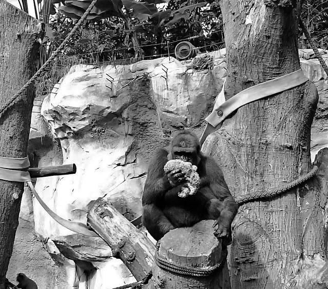 Gorillas Zoo Rostock