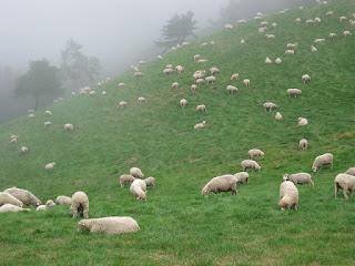 草原で自由にすごす大量の羊