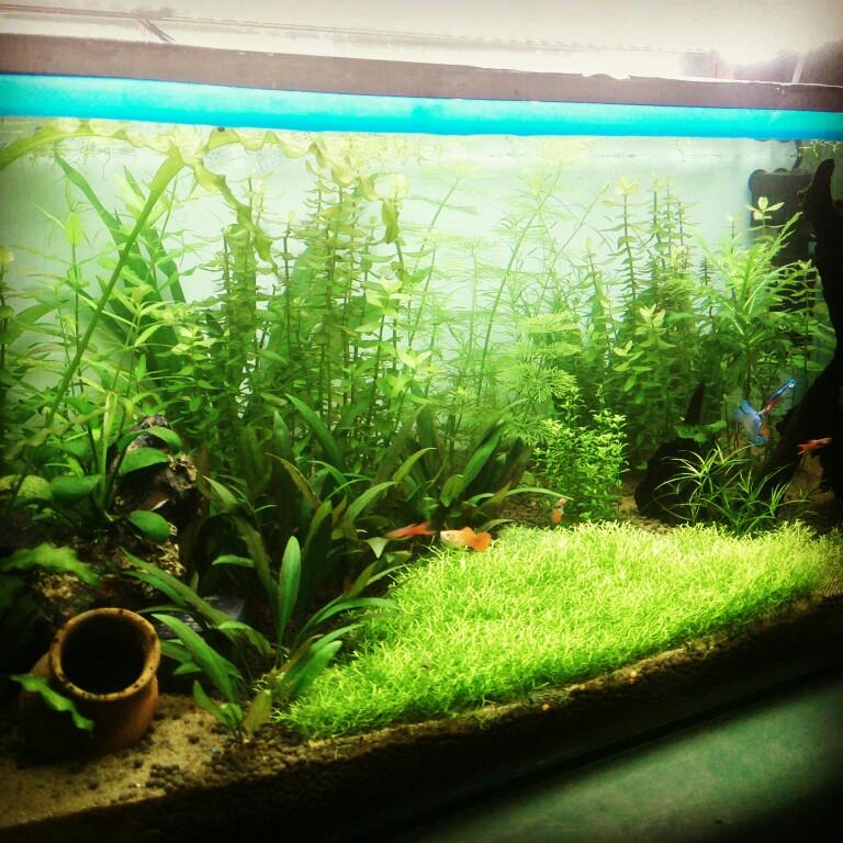Thảm cỏ dùng rêu Ricca trong hồ thủy sinh