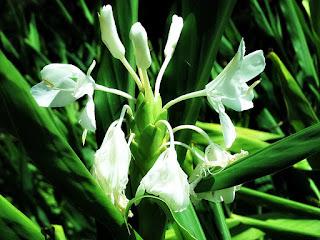 Flores Brancas - Jardim Botânico de Porto Alegre