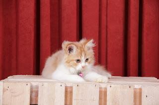 Infeksi Telinga Kucing Dan Cara Pengobatannya Yang Baik