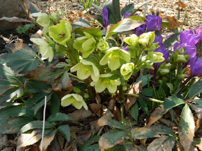 Hellebores and crocuses at Toronto Botanical Garden by garden muses-not another Toronto gardening blog