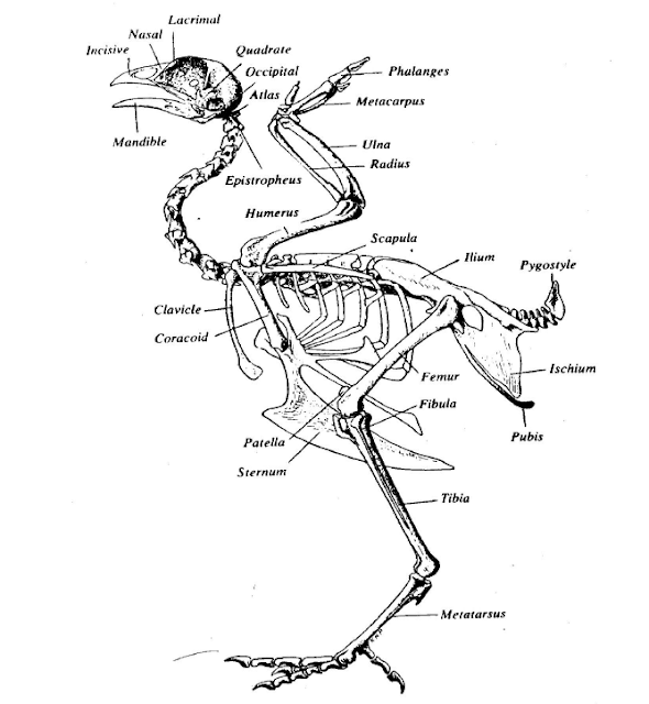 Sistem Rangka pada Ternak Unggas