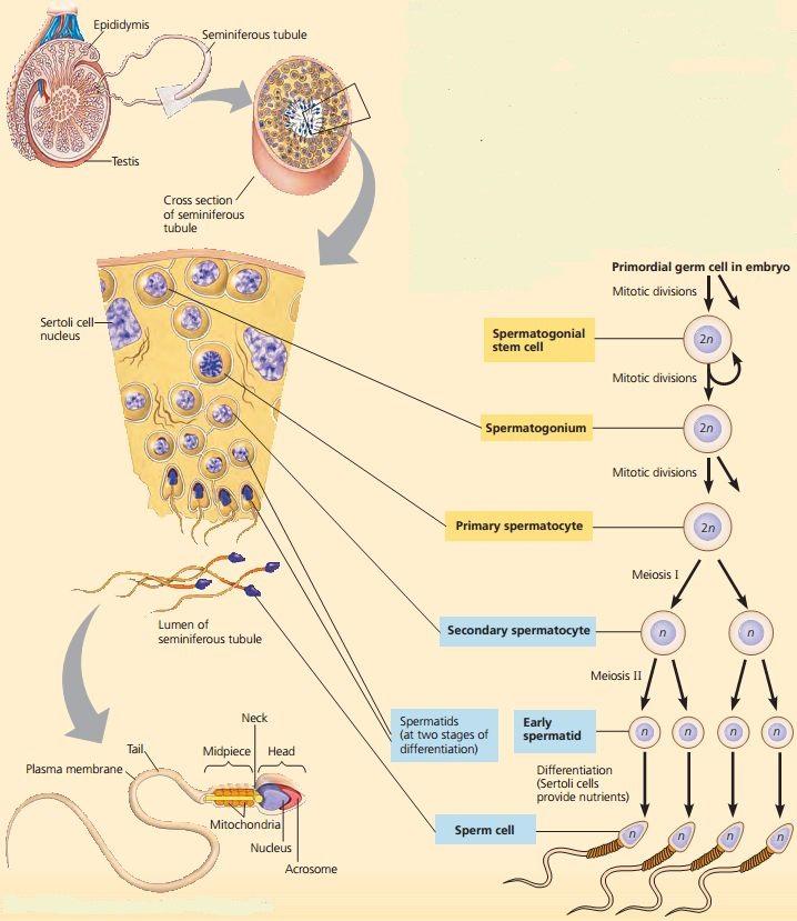 Proses spermatogenesis dan oogenesis sma kls xi biologi proses pembentukan spermatogenesis ccuart Image collections