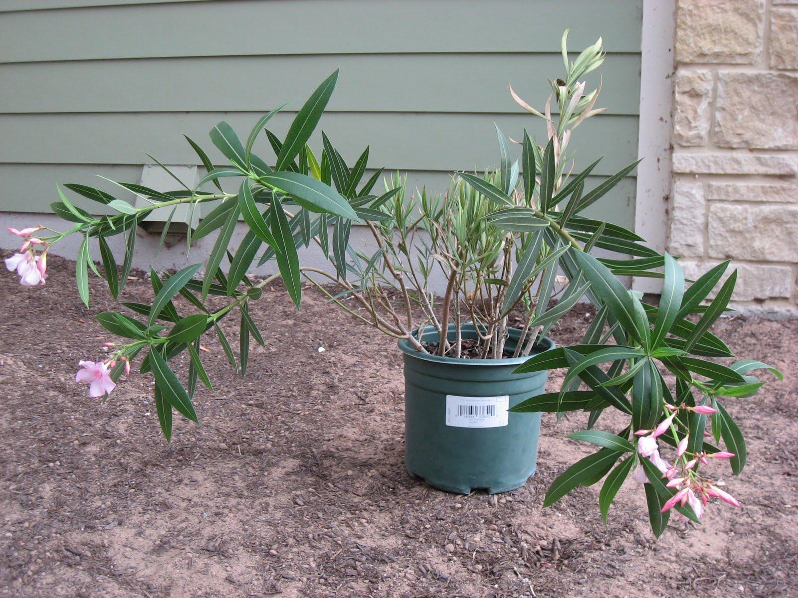 green house good life flora focus oleander. Black Bedroom Furniture Sets. Home Design Ideas