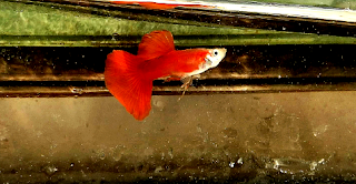 Gambar Guppy Red Blonde