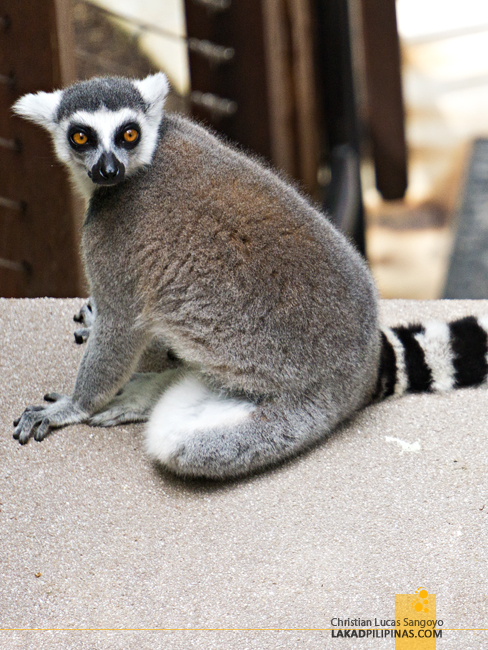 Currumbin Wildife Sanctuary Lost Valley Lemur Australia