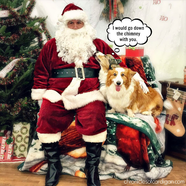 two corgis sitting on Santa's lap