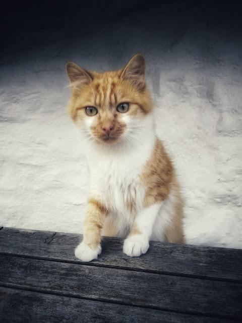 orange and white cat, kitten