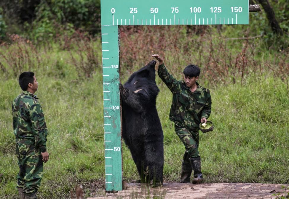 A staff member measures the height of a black bear at a national forest park in Puer, Yunnan province, China, November 16, 2014.REUTERS/Wong Campion