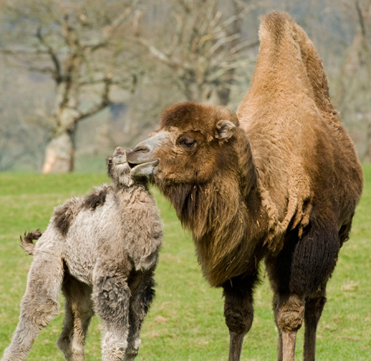 Baby Animals: Camel - Calf 26
