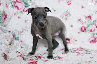 Italian Greyhound puppy