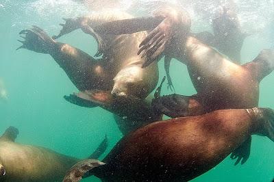 buceo con lobos marinos Puerto Madryn y Puerto Piramides
