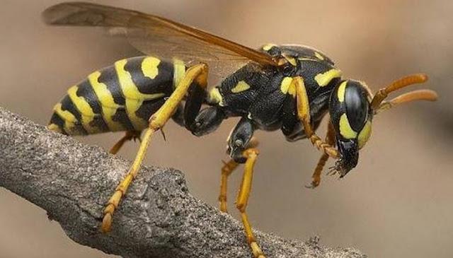 Γι' αυτό το λόγο οι σφήκες είναι τόσο επιθετικές το καλοκαίρι