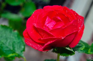 Cramer Imaging's professional quality nature photograph of a traditional and classic pink rose with water droplets in Pocatello, Bannock, Idaho