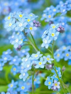 kwiaty w bukiecie Megan Markle niezapominajka