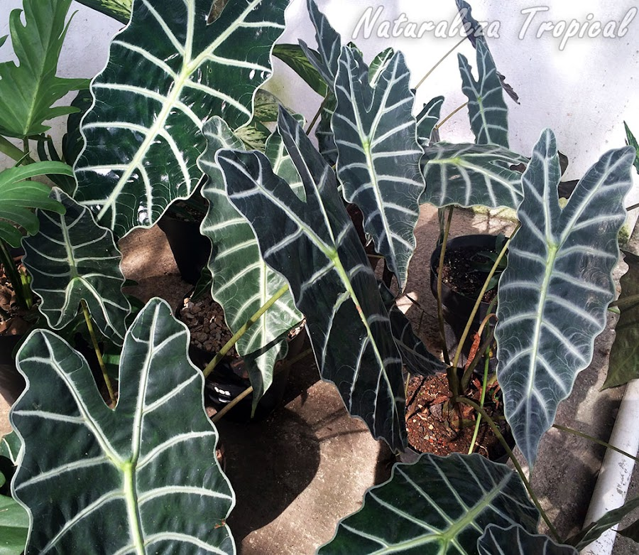 La planta Cara de Caballo o Cara de Burro, Alocasia sanderiana