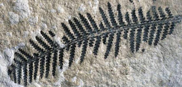 Fosil de una planta