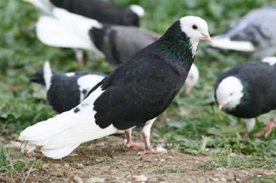 dünek güvercin resmi - güvercin ırkları