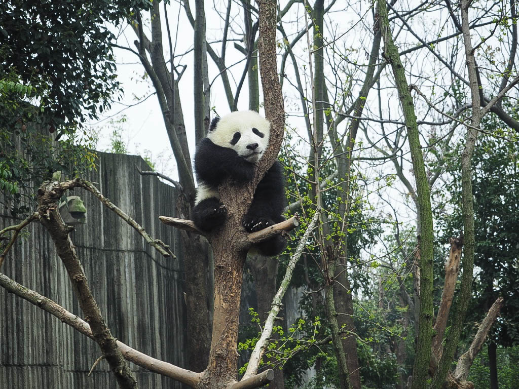 Baby panda at Chengdu Panda Sanctuary, China