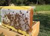 Τρύγος μελιού: Γρήγορος απολεπισμός με πάνφθηνο εργαλείο και κολπάκι για να μην σπάνε τα πλαίσια στον μελιτοεξαγωγέα!